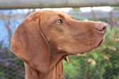 Hungarian vizsla dog — Stock Photo