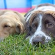 Постер, плакат: A springer spaniel and golden retriever pet dogs