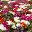 White and red Primulas - Stock Photo