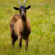 Goat on a green meadow — Stock Photo