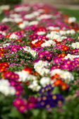 White and red Primulas — Stock Photo