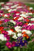 White and red Primulas — Stock Photo