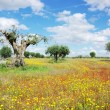 Old olives tree at portuguese field — Stock Photo