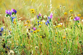 Wild flowers on portuguese field — Stock Photo