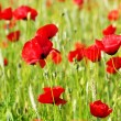 Red Poppys — Stock Photo