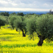 Olives tree on yellow field  at Portugal — Stok fotoğraf