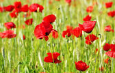 Red Poppys — Stock Photo