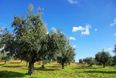 Olives tree at Portugal — Stock Photo