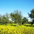 Olives tree in yellow field at Portugal - Stock Photo