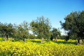 Olives tree in yellow field at Portugal — Stock Photo