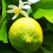 Green lemon on lemon tree. — Stock Photo #8650061