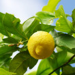 Yellow lemon on lemon tree. — Stock Photo