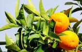 Naranjas en rama — Foto de Stock