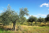 Olives tree at mediterranean field — Stock Photo