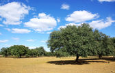Oak forest at mediterranean region — Stock Photo
