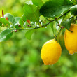Yellow lemons hanging on tree — Stock Photo #9825061
