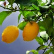 Yellow lemons on tree — Stock Photo