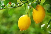 Yellow lemons hanging on tree — Stok fotoğraf