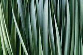 Daffodil foliage background — Stock Photo