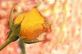 Rosa naranja con espacio de copia — Foto de Stock