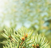 Pine buds on the abstract blurred background — Stock Photo
