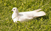 White dove sitting in the grass — Stock Photo