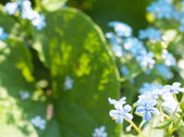 Abstract background with forget-me-not flowers — Stock Photo