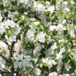 Apple flowers background — Stockfoto #10575778