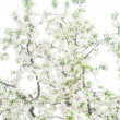 Foto de Stock  : Apple branches with flowers isolated on white background