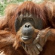 Stock Photo: Orang Utan