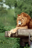 Lion in a zoo — Foto Stock