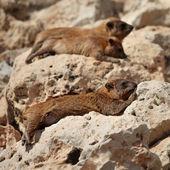 Cape hyrax (Procavia capensis) — Foto de Stock