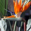 Bird of paradise flower - Strelitzia — Foto Stock