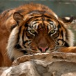 Stock Photo: Tiger. Portrait