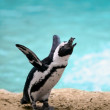 Jackass penguin — Stock Photo #10649077