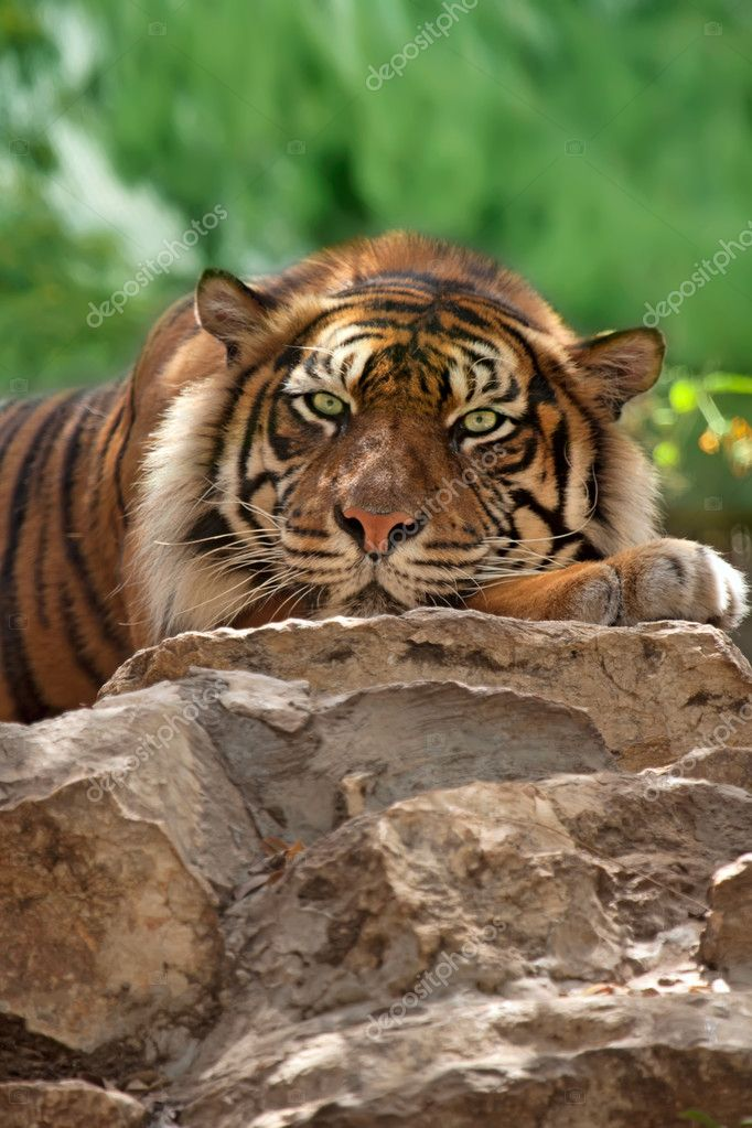 Portrait of a tiger. Zoo — Stock Photo #10653064