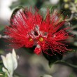 Pohutukawa - New Zealand Christmas tree. — Stock Photo