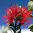 Stock Photo: PohutukawFlower