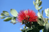 Pohutukawa - New Zealand Christmas tree — Stock Photo