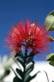 Pohutukawa Flower — Stock Photo