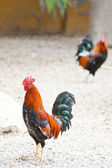Roosters or cockerels in a yard — Stock Photo