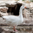 Goose or gander by lake — Stock Photo #10459492