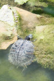 Turtle crawling out of water — Stock Photo