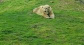 Icebear in the zoo — Stock Photo