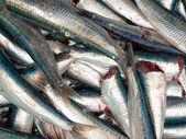Fresh sardines — Stock Photo