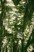 грубая трещины текстурированной березовой коры фон крупным планом — Стоковое фото