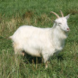 Stock Photo: White goat.