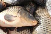 Head of a carp. — Stock Photo
