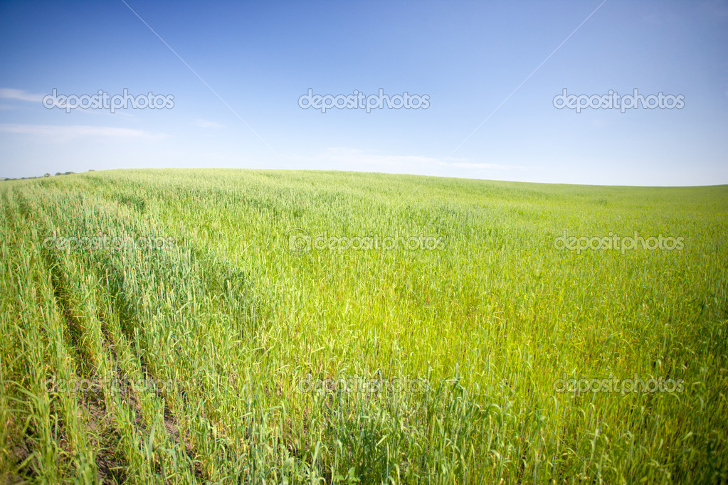 Wheat field, summer sunny day, rural area — Stock Photo #8515457