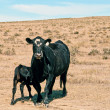 Stock Photo: Wary Black Cow With Nursing Calf